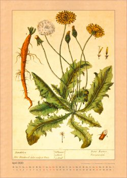 Kalender 2020 Elizabeth Blackwell Curious Herbal April