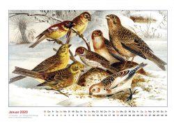 Brehms Tierleben Hemische Vögel