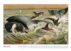Brehms TIerleben Nordwal und Schwertwale