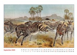 Brehms Tierleben Zebra